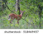 White Tailed Deer Fawn Walking...