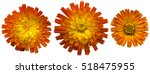 Three Large Orange Hawkweed...