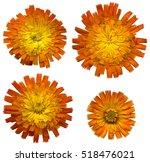 Four Large Orange Hawkweed...