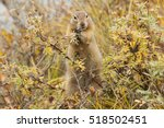Arctic Ground Squirrel...