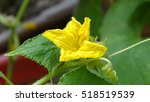 Yellow Flower Of A Cucumber