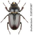 Stag Beetle Lucanus Cervus...