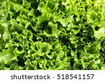 romaine lettuce close up | Shutterstock . vector #518541157