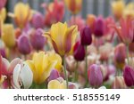 the tulip is a perennial ...   Shutterstock . vector #518555149