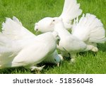 Group Of Four White Fantails O...