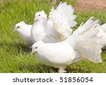 Group Of Three White Fantails...