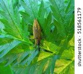 Small photo of Lixus iridis bug