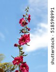 Small photo of Dark red flower of common hollyhock Alcea rosea blooms in a botanical garden in Southern California, United States