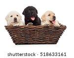 labrador puppies in a basket | Shutterstock . vector #518633161