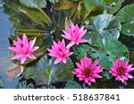 Top View Of Water Lily Bush In...