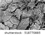 Frosty Leaves. Black And White...