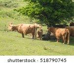 Highland Cattle In Dartmoor
