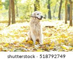 Funny Labrador Retriever With...