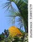 Date Palm  Phoenix Dactylifera...