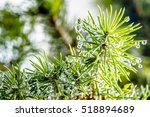 conifer branch   water droplets ... | Shutterstock . vector #518894689