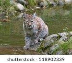 juvenile eurasian lynx  lynx...   Shutterstock . vector #518902339