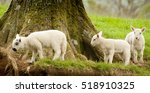 Three Lambs On Derwentwater Bank