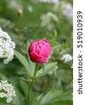 Small photo of Bud Of A Pink Peony On A Green Background With White Flowers Of A Goutweed. Flower Vegetable Background Vertically. Paeonia. Paeoniaceae family.Close up. Macro.Aegopodium
