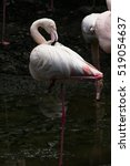 flamingo | Shutterstock . vector #519054637