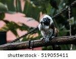 cotton top tamarin | Shutterstock . vector #519055411