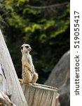 meerkat | Shutterstock . vector #519055417
