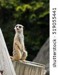meerkat | Shutterstock . vector #519055441