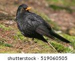 male european blackbird  turdus ... | Shutterstock . vector #519060505