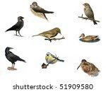 chiffchaff  rook  blue tit ... | Shutterstock . vector #51909580
