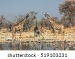 Three Giraffes Standing At Poo...