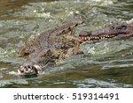 The Nile Crocodile  Crocodylus...