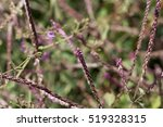 Small photo of Flowers of Achyranthes aspera a medical plant in the tropical world.