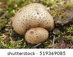 Thick Shelled Earthball