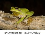 Mediterranean Tree Frog Or...