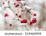 Red Frozen Berries In The Ice...