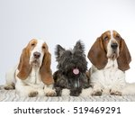 Two Basset Hounds With Cairn...