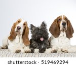 Stock photo two basset hounds with cairn terrier puppy in a studio 519469294