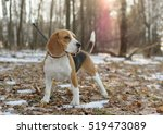 Dog Beagle On A Walk In The...