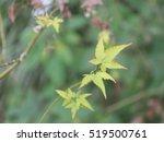 green maple leaves   Shutterstock . vector #519500761