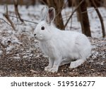 Stock photo snowshoe hare or varying hare lepus americanus closeup in winter in canada 519516277