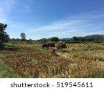 cows in the outdoor farm. | Shutterstock . vector #519545611