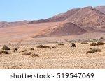 Oryx Gazella Are Grazing In A...
