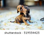 Stock photo  dachshund puppy dachshund puppy portrait outdoors many cute dachshund puppy playing outdoor 519554425
