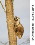 Small photo of common raccoon