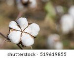 close up of ripe cotton bolls... | Shutterstock . vector #519619855