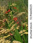 Small photo of Close up of the exotic Crocosmia Lucifer and Achillea Paprika