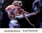 octopus underwater close up... | Shutterstock . vector #519701929