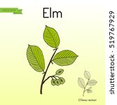 field elm  ulmus minor . hand... | Shutterstock .eps vector #519767929