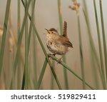 marsh wren | Shutterstock . vector #519829411