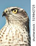 Small photo of Birds of Europe - Sparrow-hawk (Accipiter nisus)