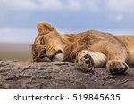 One Lioness Sleeping On The...
